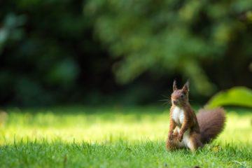 Ecureuil du jardin de notre maison d'hôtes L'Autre Rives à Albi